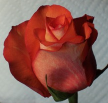 Photo of a red rose