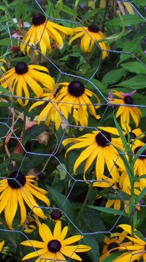 Black-eyed susans trapped behind wire